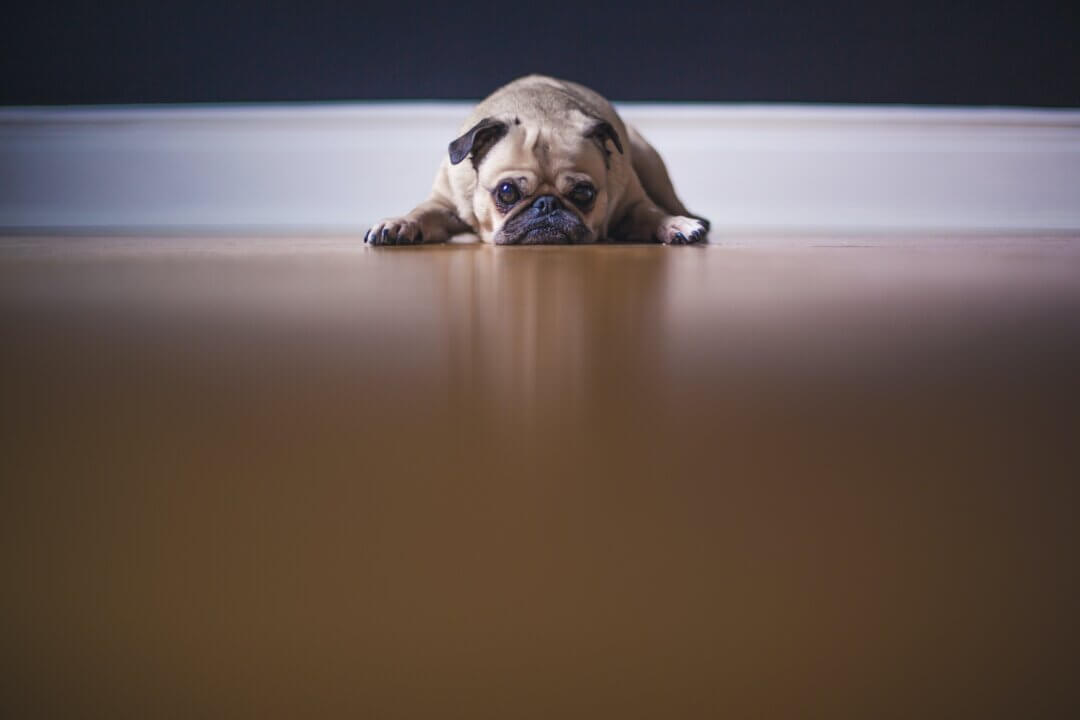 Image of a dog looking fed up with their head resting on the floor.